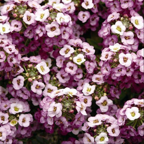 alyssum-clear-crystal-lavender