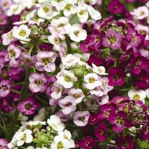 alyssum-clear-crystal-mix-bloom