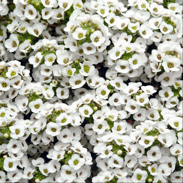alyssum-clear-crystal-white