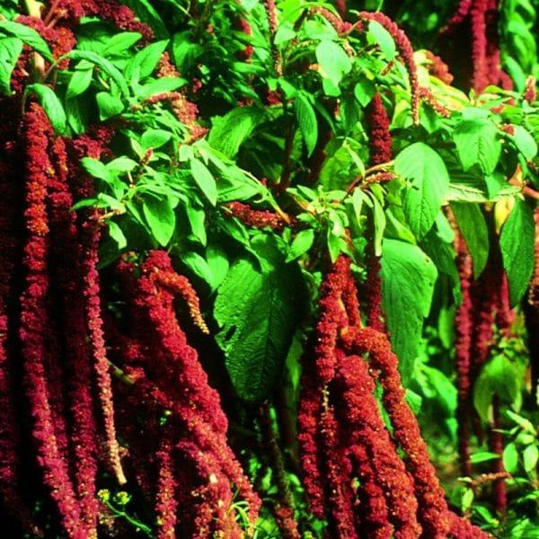 amaranthe-dark-red