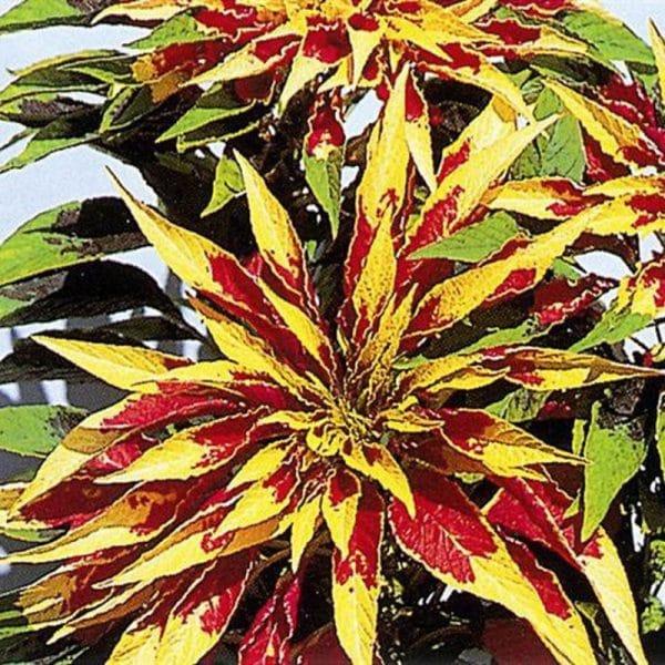 amaranthe-splendens-perfecta