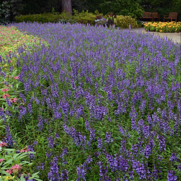 angelonia-serena-blue-landscape2