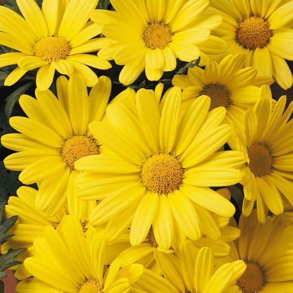 argyranthemum-butterfly-bloom-1