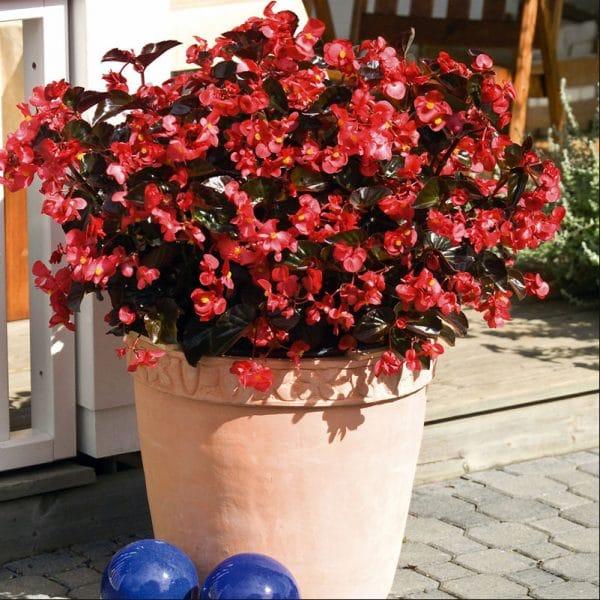 begonia-big-red-bronze-leaf