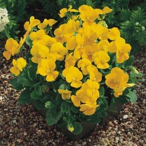 viola-penny-yellow